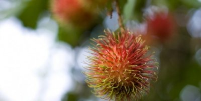 What is Rambutan?
